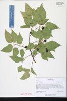 Celtis australis image