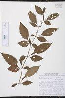 Image of Solanum morellifolium