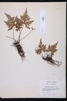 Doryopteris pedata image