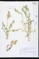 Selaginella substipitata image