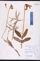 Clematis baldwinii image