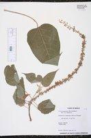 Image of Croton panamensis