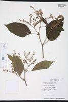 Image of Heliocarpus donnellsmithii