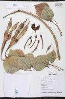 Image of Erythrina americana
