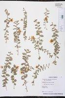 Image of Chamaecrista calycioides