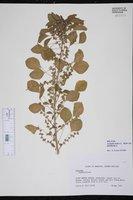 Acalypha indica image