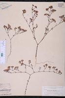 Paronychia rugelii image