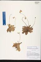Pinguicula primuliflora image