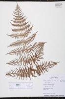 Pteridium arachnoideum image