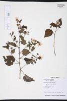 Image of Pavonia purpusii