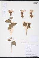 Image of Hibiscus costatus