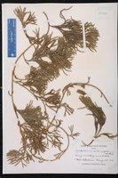 Lycopodium sabinaefolium image