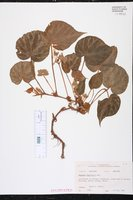 Image of Begonia imperialis