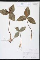 Trillium ludovicianum image