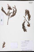 Calliandra grandiflora image