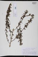 Image of Zanthoxylum spinifex