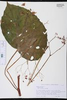 Begonia obliqua image