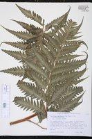 Image of Saccoloma domingense