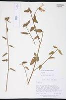 Image of Pavonia angustifolia