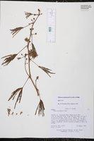 Image of Mimosa polydactyla