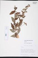 Image of Peltaea sessiliflora