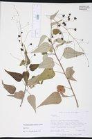 Image of Wissadula periplocifolia