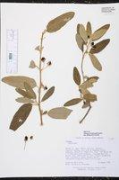 Image of Solanum schomburghii