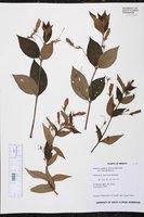 Moussonia elegans image