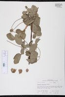 Clematis reticulata image