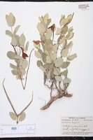 Image of Macrosiphonia lanuginosa