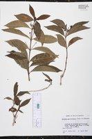 Image of Morinda guatemalensis