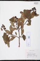 Ehretia latifolia image
