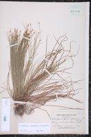 Trichophorum planifolium image