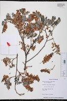 Lonchocarpus hermannii image