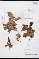 Neopringlea integrifolia image
