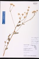Oclemena reticulata image