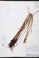 Schizaea pennula image