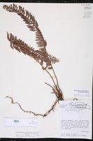 Nephrolepis brownii image