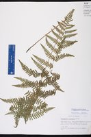 Thelypteris palustris image