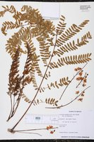 Image of Conzattia multiflora