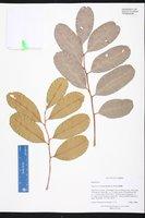 Cupaniopsis anacardioides image
