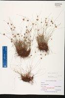 Cyperus filiformis image
