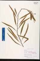 Microgramma heterophylla image