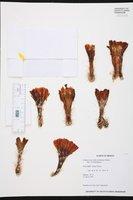 Echinocereus scheeri image