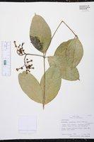 Prestonia longifolia image