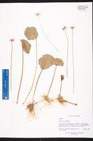 Hydrocotyle umbellata image