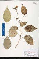 Pavonia paludicola image