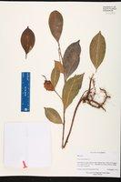 Ficus microcarpa image