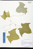 Dioscorea sansibarensis image