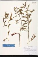 Desmanthus leptophyllus image